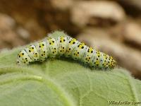 Cucullia verbasci larva La Cucullie de la molène chenille Kuifvlinder rups