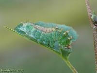 Drepana falcataria larva La Faucille chenille Berkeneenstaart rups