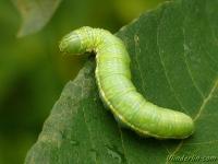 Drymonia dodonaea larva La Triple tache chenille Gestreepte tandvlinder rups