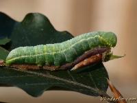 Drymonia obliterata larva L'Ardoisée chenille Beukentandvlinder rups