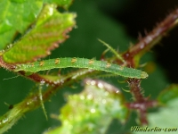 Mesoleuca albicillata larva La Phalène de la ronce chenille Brummelspanner rups