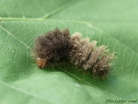 Miltochrista miniata larva La Rosette chenille Rozenblaadje rups