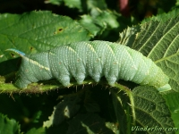 Mimas tiliae larva Le Sphinx du tilleul chenille Lindepijlstaart Rups