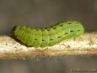 Noctua pronuba larva Le Hibou chenille Huismoeder rups