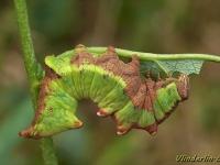 Notodonta dromedarius larva Le Chameau chenille Dromedaris rups