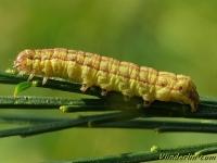 Ochropleura plecta larva Le Cordon blanc chenille Haarbos rups