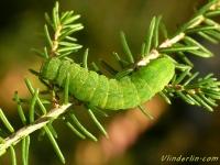 Phlogophora meticulosa larva La Méticuleuse chenille Agaatvlinder rups
