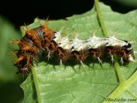 Polygonia c-album larva Le Robert-le-diable chenille Gehakkelde aurelia rups