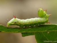 Ptilodon capucina larva La Crête de coq chenille Kroonvogeltje rups