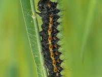 Saturnia pavonia larva Le Petit paon de nuit chenille Nachtpauwoog rups
