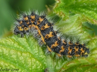 Saturnia pavonia larva Le Petit paon de nuit chenille Nachtpauwoog rups V