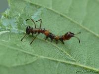Stauropus fagi larva Le Staurope du hêtre chenille Eekhoorn rups