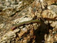 Thalera fimbrialis larva La Phalène du buplèvre chenille Geblokte zomervlinder rups