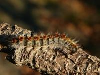 Thaumetopoea pityocampa larva La Processionnaire du pin chenille Dennenprocessierups rups