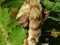 Thyatira batis larva La Batis chenille Braamvlinder rups