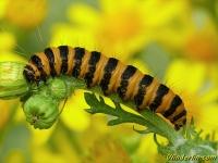 Tyria jacobaeae larva La Goutte-de-sang chenille Sint-jacobsvlinder rups