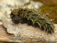 Vanessa atalanta larva Le Vulcain chenille Atalanta rups