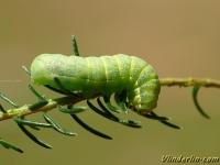 Xestia c-nigrum larva Le C-noir chenille Zwarte c-uil rups