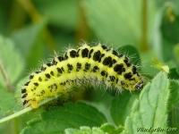 Zygaena filipendulae larva La Zygène de la filipendule chenille Sint-jansvlinder rups