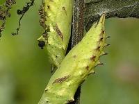 Aglais io chrysalis Paon du jour chrysalide Dagpauwoog pop