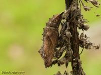 Aglais urticae chrysalis Petite tortue chrysalide Kleine vos pop