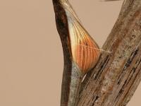 Anthocharis cardamines pupa Aurore chrysalide Oranjetipje pop