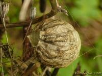 Argiope bruennichi cocoon Argiope frelon cocon Wespspin cocon