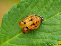 Coccinella septempunctata nymph Coccinelle à 7 points nymphe Zevenstippelig lieveheersbeestje pop