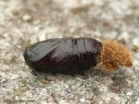 Diaphora mendica pupa Ecaille mendiante chrysalide Mendicabeer pop