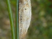 Euthrix potatoria cocoon Buveuse cocon Rietvink cocon