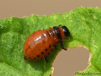 Leptinotarsa decemlineata larva Doryphore de la pomme de terre larve Coloradokever larve