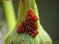 Liorhyssus hyalinus ovae Liorhyssus hyalinus oeufs Langvleugelige glasvleugelwants eitjes