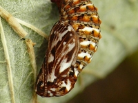 Melitaea athalia chrysalis Mélitée du mélampyre chrysalide Bosparelmoervlinder pop
