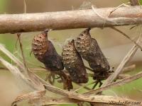Melitaea cinxia chrysalis Mélitée du plantain chrysalides Veldparelmoervlinder poppen