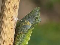 Papilio machaon chrysalis Le Machaon chrysalide Koninginnenpage pop II