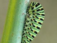 Papilio machaon pre-pupa Machaon pré-nymphe Koninginnenpage pre-pop
