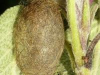 Phragmatobia fuliginosa cocoon Ecaille cramoisie cocon Kleine beer cocon