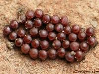 Picromerus bidens ovae Punaise à cornes oeufs Tweetandschildwants eitjes