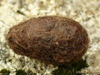 Saturnia pavonia cocoon Petit paon de nuit cocon Nachtpauwoog cocon