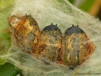 Tachinidae sp. cocoons Tachinaire sp. cocons Sluipvlieg sp. cocons