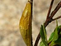 Zygaena filipendulae cocoon Zygène de la filipendule cocon Sint-jansvlinder cocon
