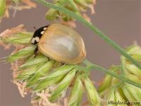 Anatis ocellata Coccinelle ocelles Oogvleklieveheersbeestje
