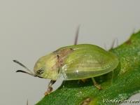 Cassida rubiginosa Casside tachée de rouille Groene schildpadkever