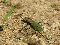 Cicindela campestris Cicindèle champêtre Groene zandloopkever