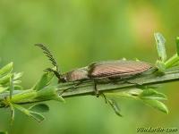 Ctenicera pectinicornis masculine Cténicère à antennes pectinées mâle Gekamde kniptor mannetje