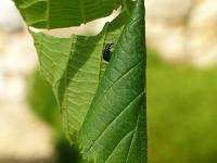 Deporaus betulae Cigarier du bouleau Berkenbladrolkever