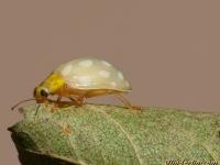 Halyzia sedecimguttata Grande coccinelle orange Meeldauwlieveheersbeestje