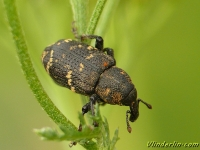 Hylobius abietis Grand charançon du pin Grote dennensnuitkever