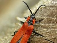Lygistopterus sanguineus Lycie sanguine Roodschildkever