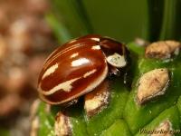 Myzia oblongoguttata Coccinelle zébrée Gestreept lieveheersbeestje